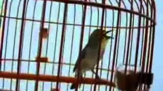 Burung Kacamata - You Tube 3gp