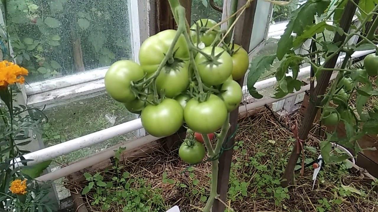 Как формируют томаты марьина роща фото текст