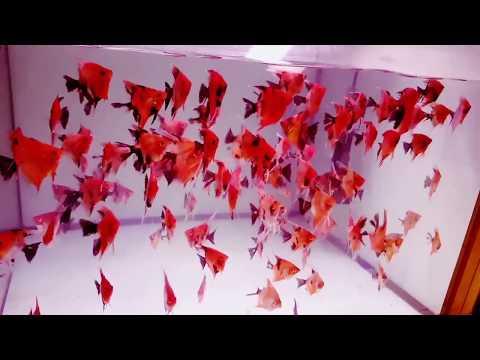 Red Devil Angelfish