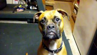 Funny Dog Video  With Dexter The Wrestling  Boxer Beagle Mix Comedy Interview