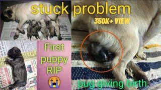 Kitty the pug giving birth puppys   stuck problem   dog female ki delevry kaise kray   