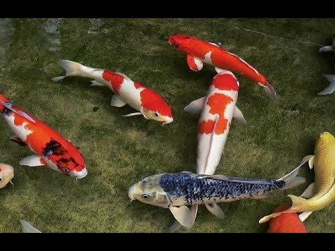 Japanese koi fish youtube for Japanese koi carp fish
