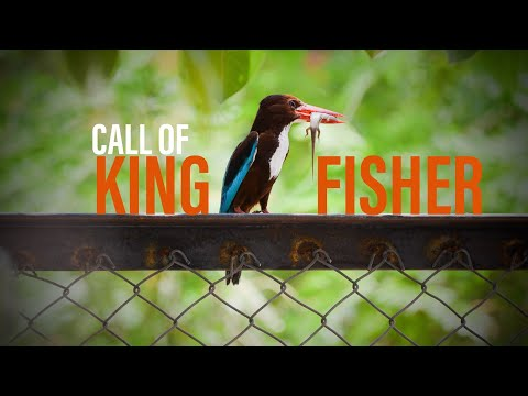 Sound Of Kingfisher || Call Of White Throated Kingfisher