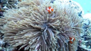 sardines PhilippineMOALBOAL菲律賓莫亞礁沙丁魚群