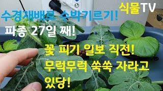 [수경재배:깻잎과 수박 키우기!] 8/2, 파종 27일…