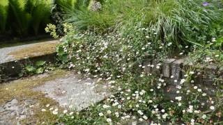 Video Erigeron karvinskianus download MP3, 3GP, MP4, WEBM, AVI, FLV Agustus 2018