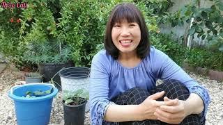 Bứng cây quý trong vườn nhà ở Mỹ cho người quen trồng