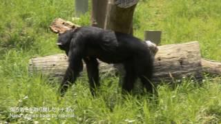 多摩動物公園 チンパンジー 2017年5月末撮影 Chimps at Tama Zoological...