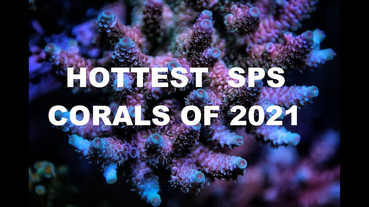 2021's Hottest SPS corals! Personal perspectives from a serial SPS hoarder.