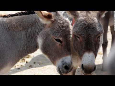 Donkey skin is the new ivory for the Chinese in Africa