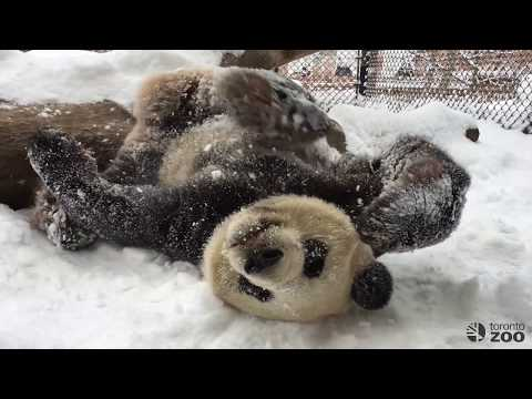 Toronto Zoo Giant Panda Da Mao Playing In First Snowfall of 2017!