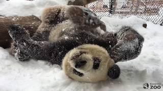 Toronto Zoo Giant Panda Da Mao Playing In First Snowfall of 2017!