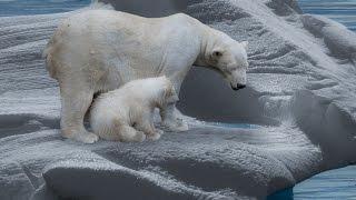 Der Eisbär - Dokumentation [1080p] [HD] [DokuExtrem]
