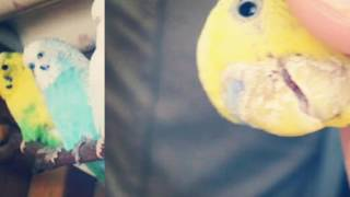 Muhabbet kuşlarında mantar hastalığı ve tedavisi