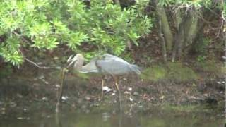 The Great Blue Heron and the Snake that Wouldn