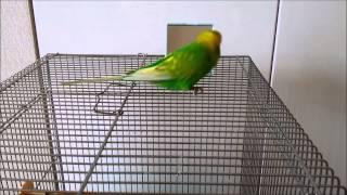 おしゃべりインコのピッピ動画です。 今週のピッピは鏡に「ぴっぴちゃん...
