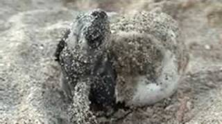 Baby Sea Turtle Hatches