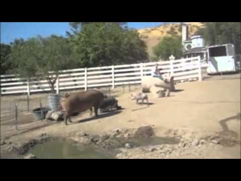 Gentle Barn - A Pigs Last Day Becomes His First Day