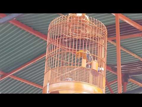 Kontes Burung Anis Merah Seruu