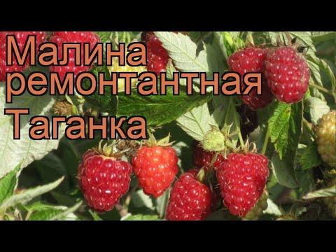 Малина ремонтантная Таганка (rubus idaeus) 🌿 малина Таганка обзор: как сажать саженцы малины Таганка | ремонтантная | таганка | малина | обзор | idaeus | rubus | та