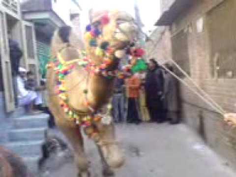 camel ki qurbani slaughter gujranwala