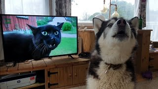 Malamute howls at the Television | Watch your pets react too