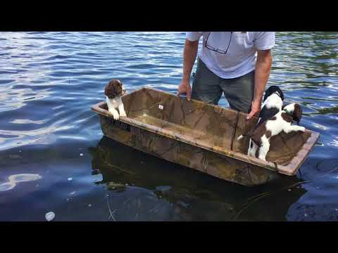 """The """"All American Litter"""" 2017 - Field Springer Spaniel Pups at 8 Weeks getting their sea legs."""