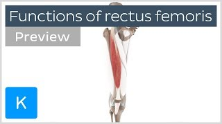 Functions of the rectus femoris muscles (preview) - Human 3D Anatomy  Kenhub