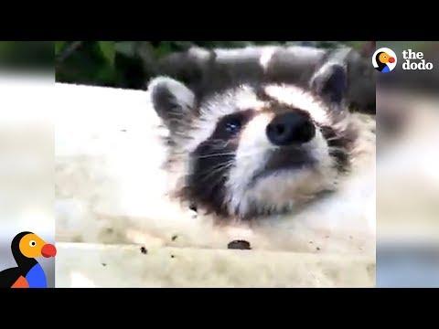 Raccoon Gets His Head Stuck In Tiny Hole | The Dodo