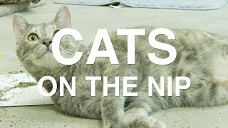 The 5 Stages of Catnip - Cats On The Nip