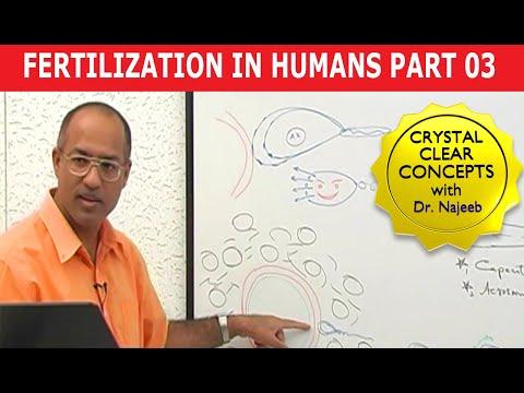 Fertilization In Humans 3/8