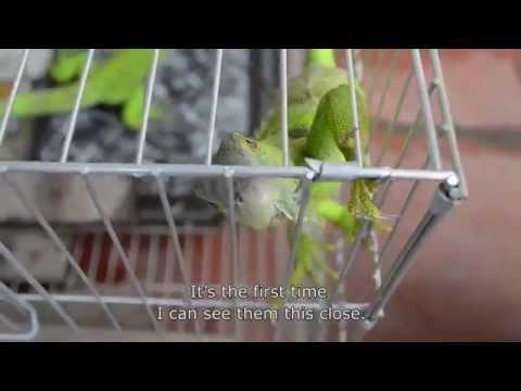 Thú chơi kỳ nhông tại Hà Nội - Salamander hobby in Hanoi