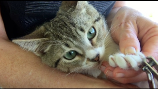 How to trim your cat's claws! Easy way to clip a cat's nails