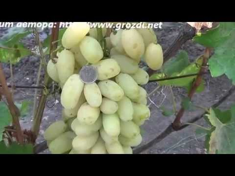 Сорт винограда: Сицилия