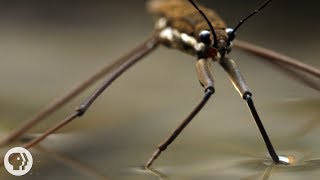 This Is Why Water Striders Make Terrible Lifeguards | Deep Look