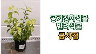(sub) 반려식물추천 금사철 공기정화식물 (Purif…