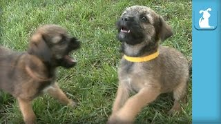 Bouncing Border Terrier Puppies Have The Most Energy!!! - Puppy Love