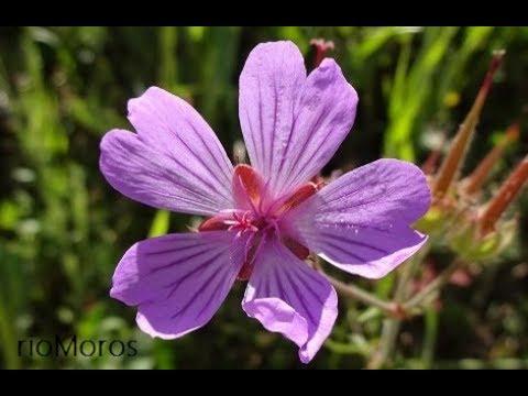Geranio de flores malva: Geranium malviflorum (www.riomoros.com)