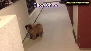 Chow Chow, Puppies, For, Sale In Toronto, Canada, Cities, Montreal, Vancouver, Calgary