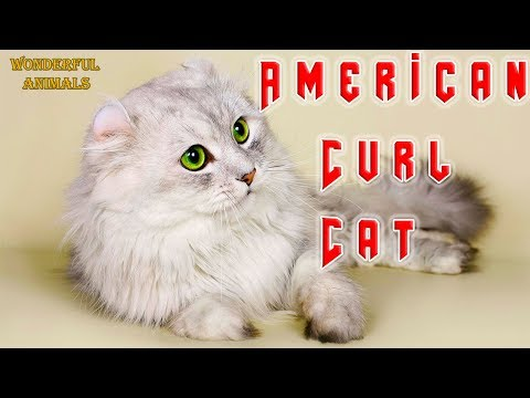 American Curl Cat shows tricks and plays with water in the shower. Compilation