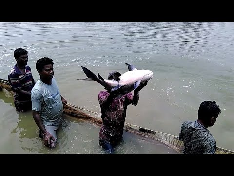 Big katla fish|| and Rui fish at inchura pond|| west bengal|| INDIA