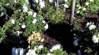 видео Роза Alba Meidiland