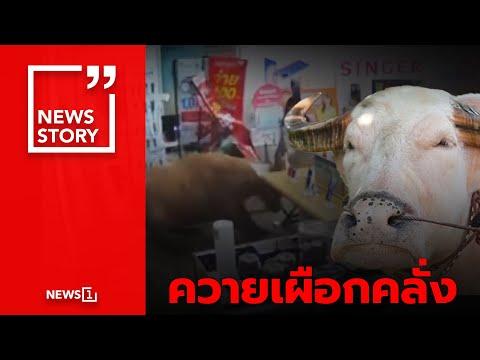 ควายเผือกคลั่ง : [News Story]