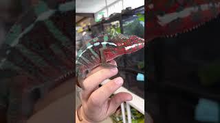 "Furcifer pardalis ♂ ""Ambilobe"" Subadulte - Caméléon panthère vidéo"