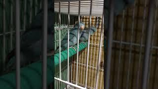 Pair #2 Bonded Blue Pair Parrotlet