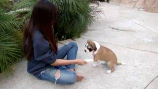 Alice The Bulldog/boxer Puppy Update: Alice Has Been Adopted :)
