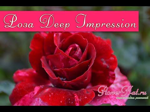 Роза Дип Импрешн / Deep Impression