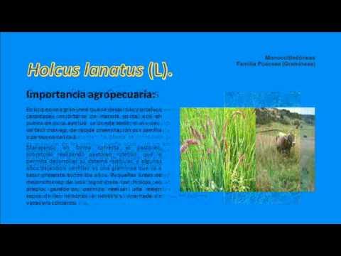 Malezas en Gramineas Familia Poaceae Monocotiledóneas