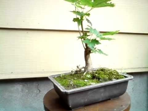Sugar Maple Bonsai Youtube
