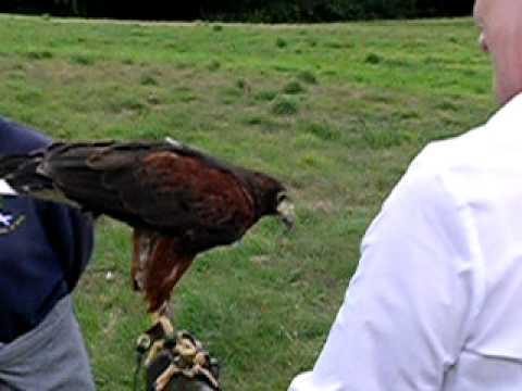 Falconry At Dalhousie Castle Scotland